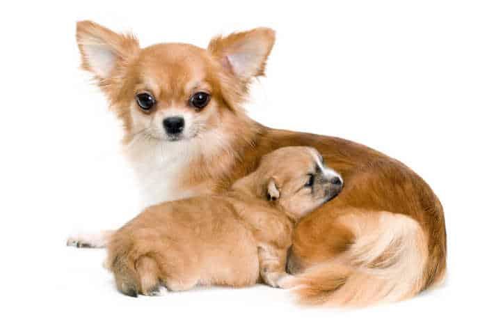 Apple Head Chihuahuas Cuddling