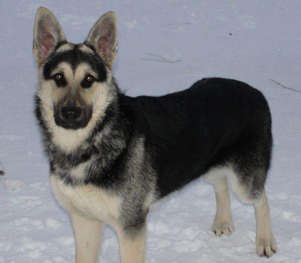 Black and Cream german shepherd