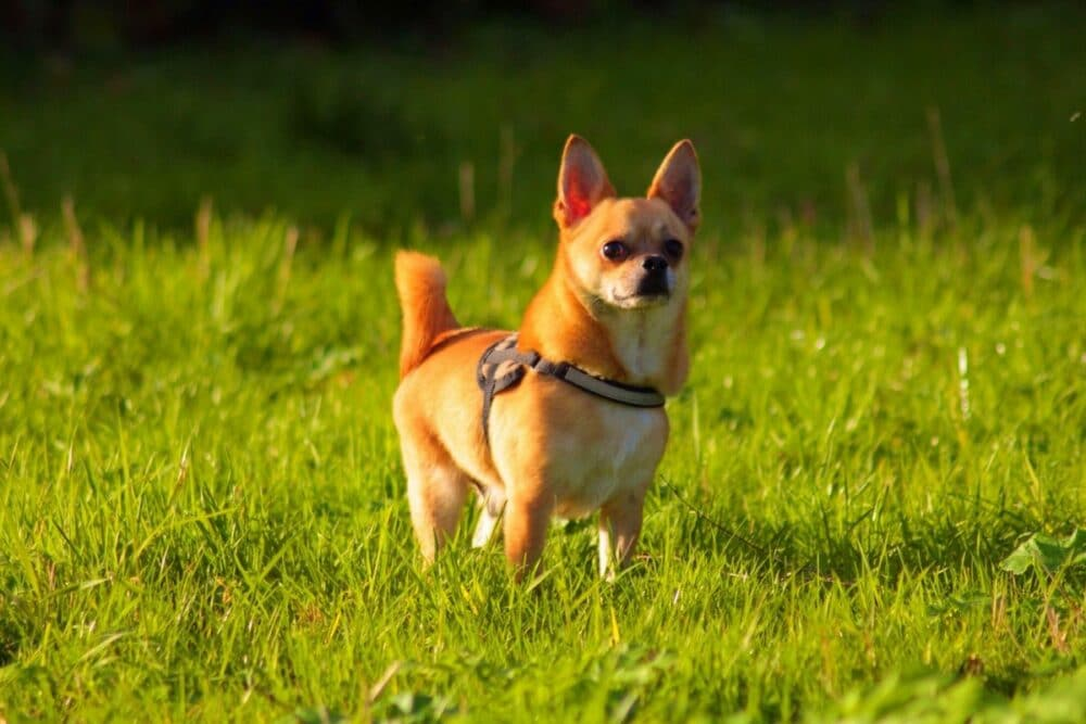 Chihuahua in a grass field
