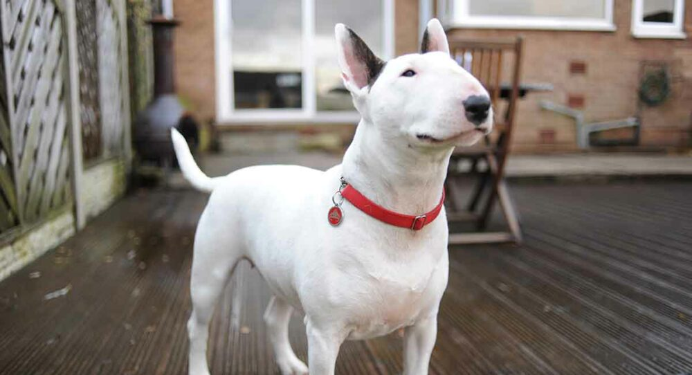 English Bull Terrier standing and smiling