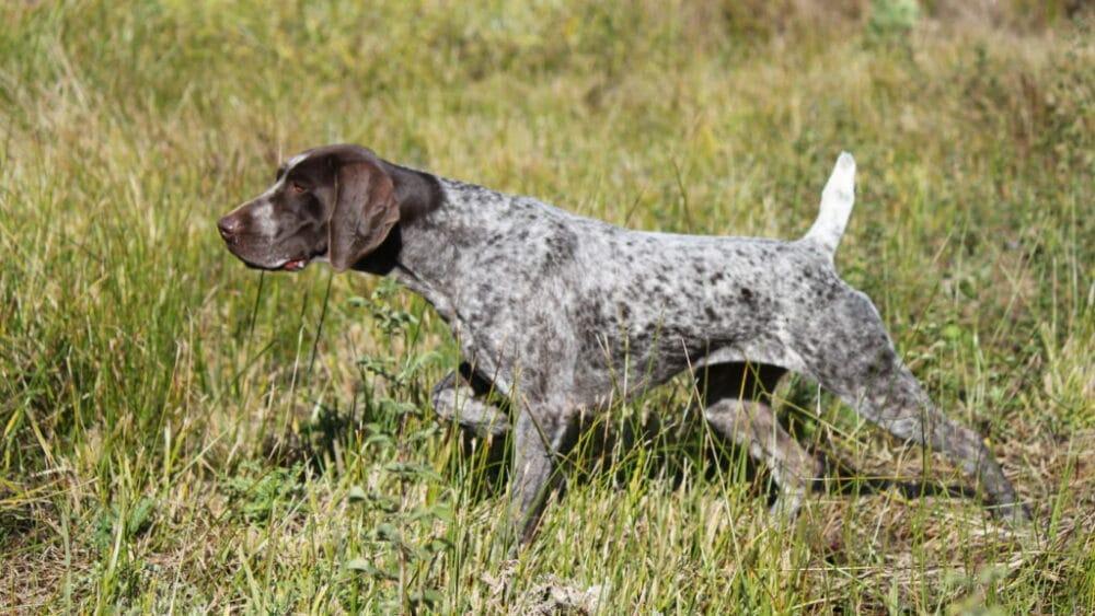 German Shorthaired Pointer in Grass