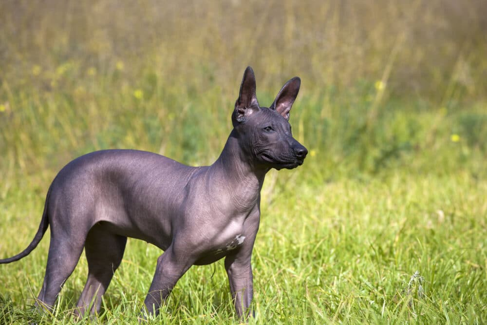 Mexican Hairless standing in grass