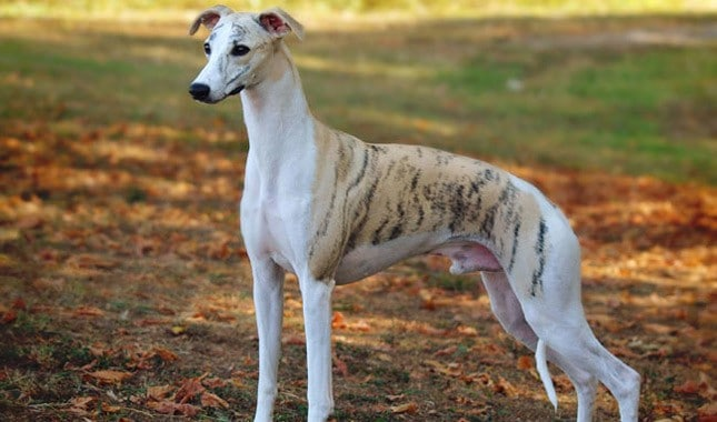 Whippet standing in grass