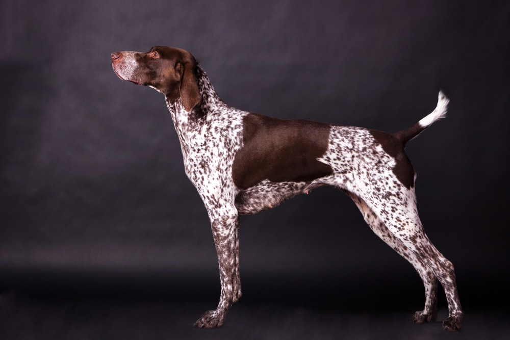 Young german shorthaired pointer looking forward on black background