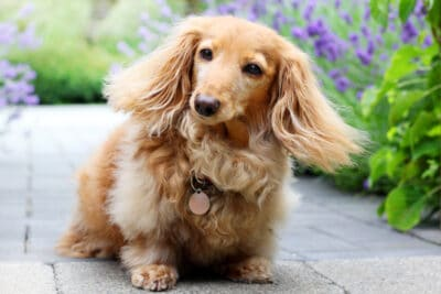A senior purebred longhair English cream colored dachshund dog, outside in the garden.