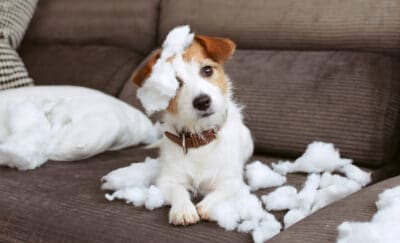 JACK RUSSELL terrier with a torn couch cushion