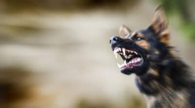 A German Shepherd baring its teeth.