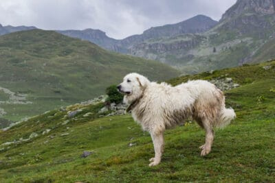 Pyrenean mountain dog standing on pasture under the rain