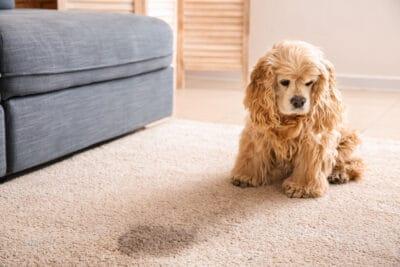 Cute dog near wet spot on carpet
