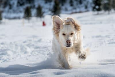 English Cream Golden Retriever running in the snow