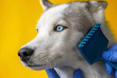 Groomer in a dog saloon combs a gray Husky