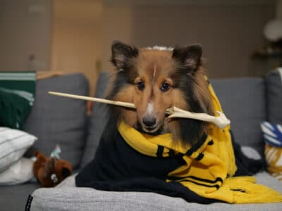 A Shetland Sheepdog cosplay as a wizard in Harry Potter