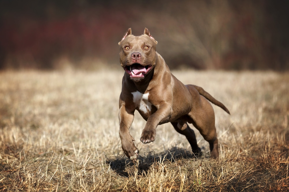 Beautiful American Pit Bull Terrier dog running on the field
