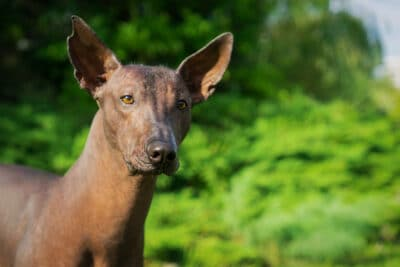 A black mexican hairless dog
