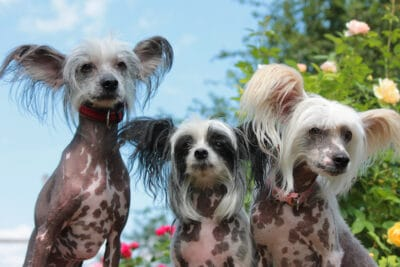 Three Chinese crested dogs in the garden