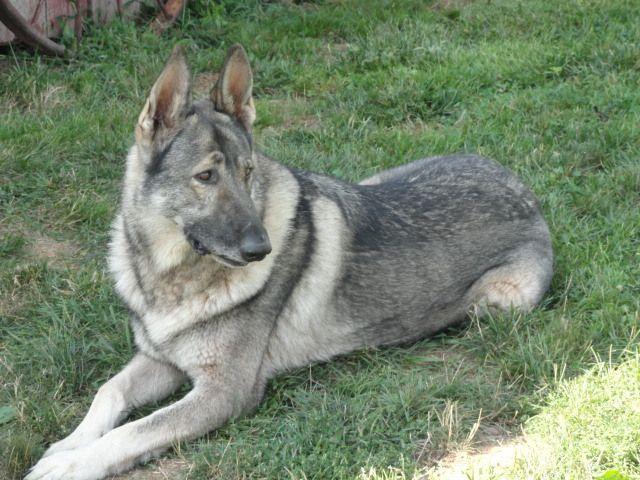 silver german shepherd