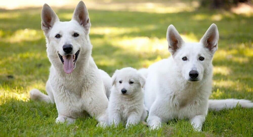 3 white german shepherds in grass