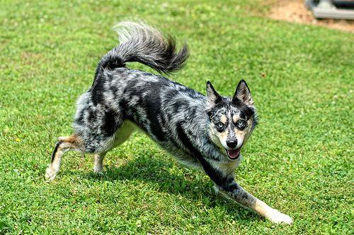 Ausky running on grass