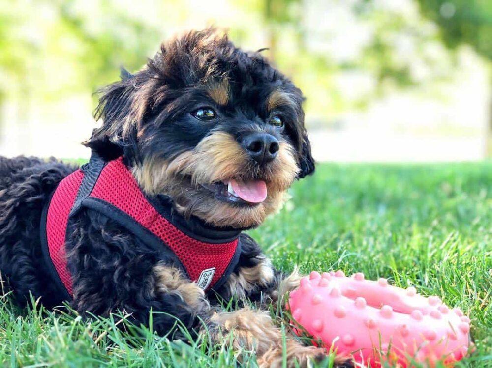 Chipoo sitting on grass