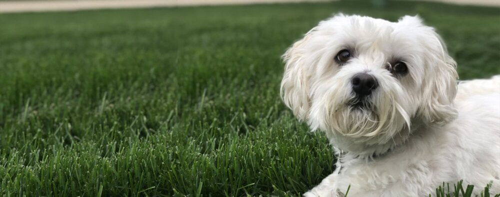 Coton-Tzu in grass
