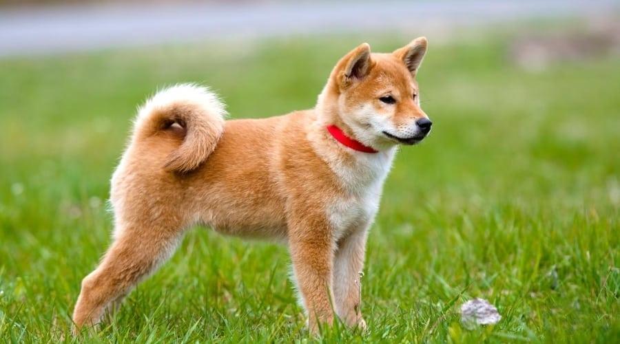 Husky Inu standing in grass
