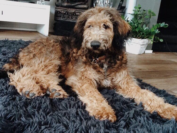 Shepadoodle sitting on carpet