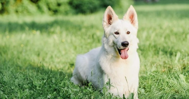 White German Shepherd sitting in grass