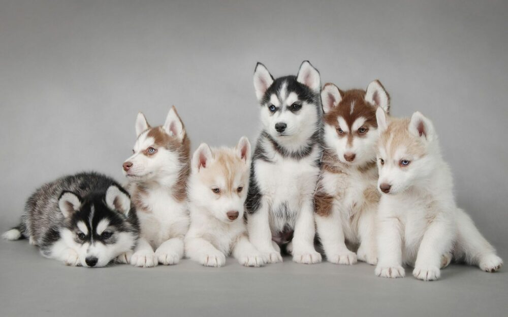 group of huskies
