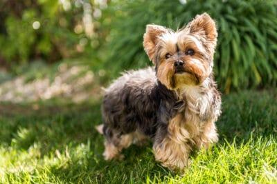 Little Yorkshire Terrier posing on grass