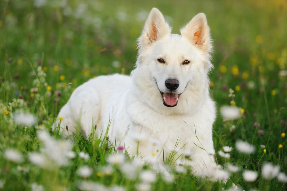 a white german shepherd in a meadow