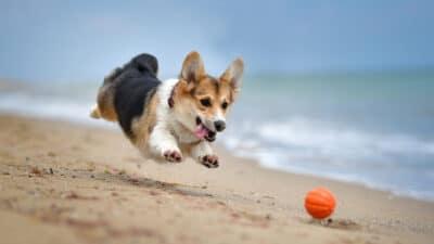 a crogi chasing a ball on a beach