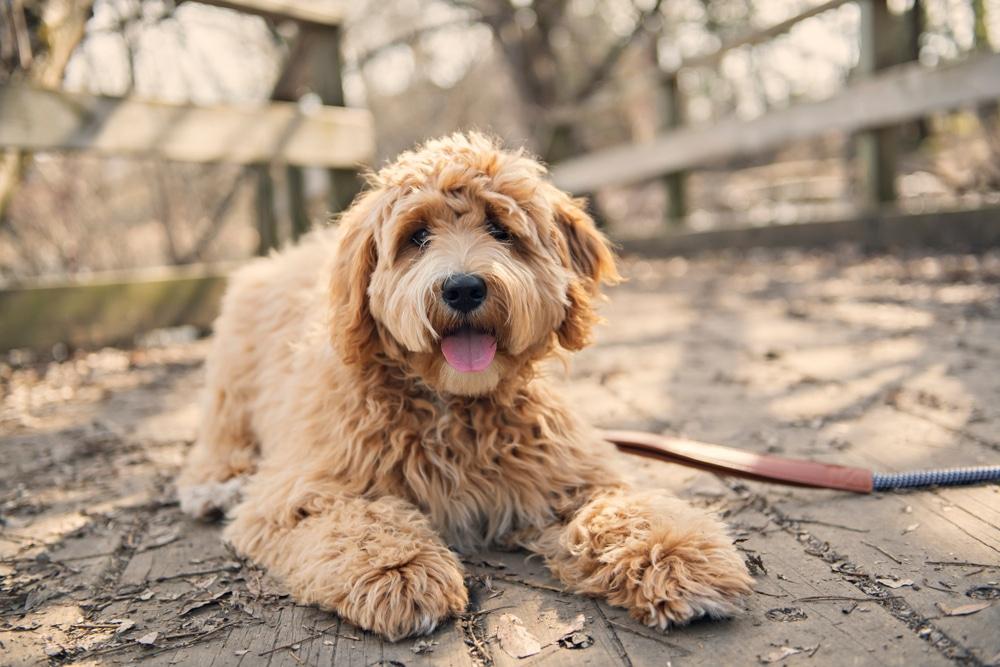Golden Labradoodle dog outside in fall season