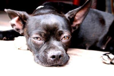 Pitbull Chihuahua Mix
