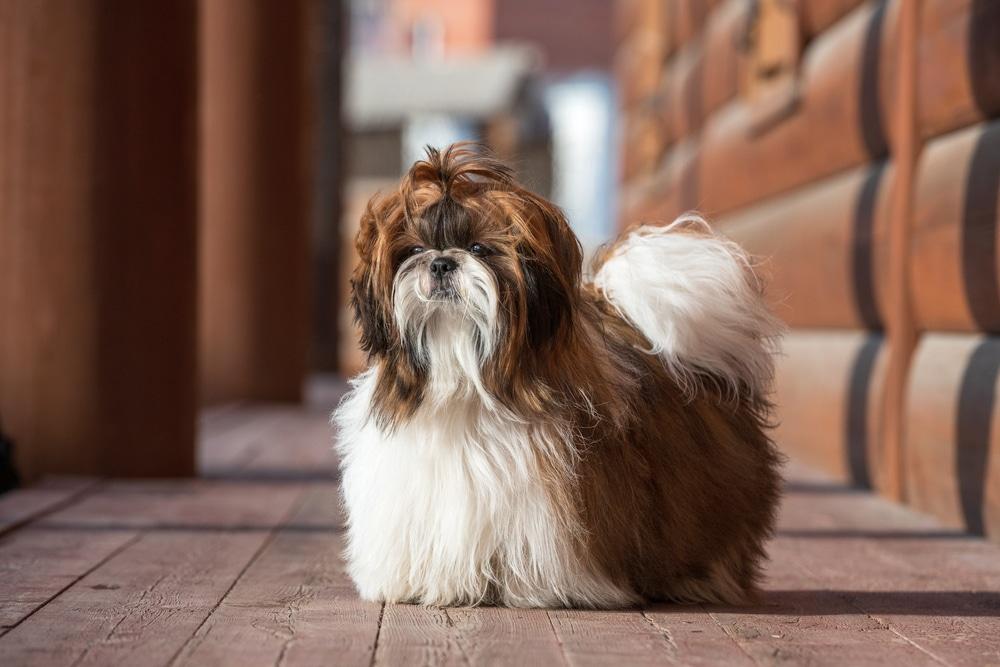 Shih Tzu dog with long groomed hair