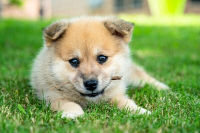 a cute pomsky puppy in a garden