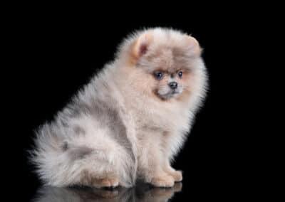 Little fluffy pomeranian puppy on a black background