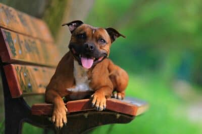 Staffordshire Bull Terrier on a park bench