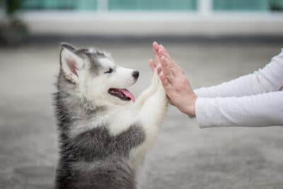 Puppy pressing his paw against a girl's hand