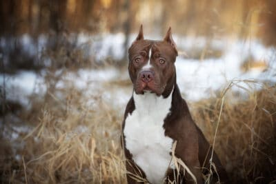 American Pit Bull Terrier in the woods