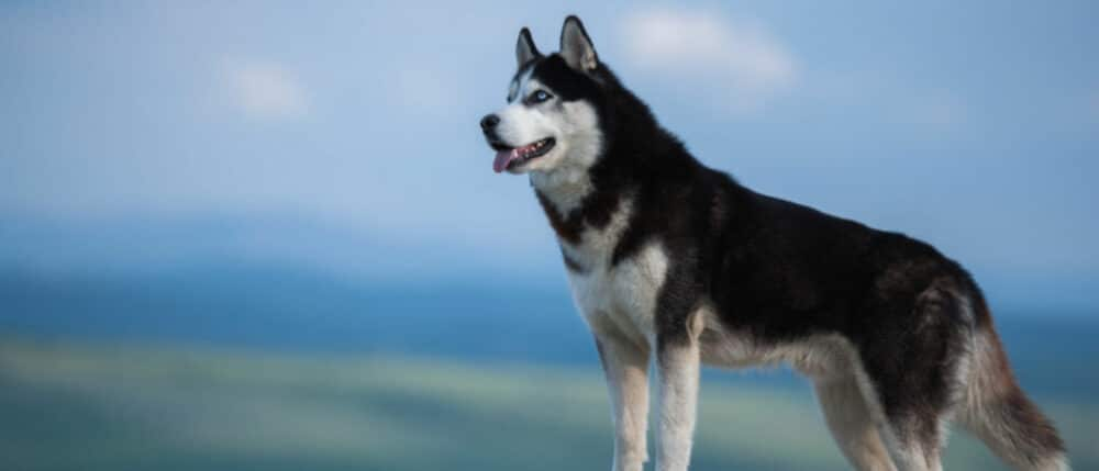 siberian husky staring into the mountains