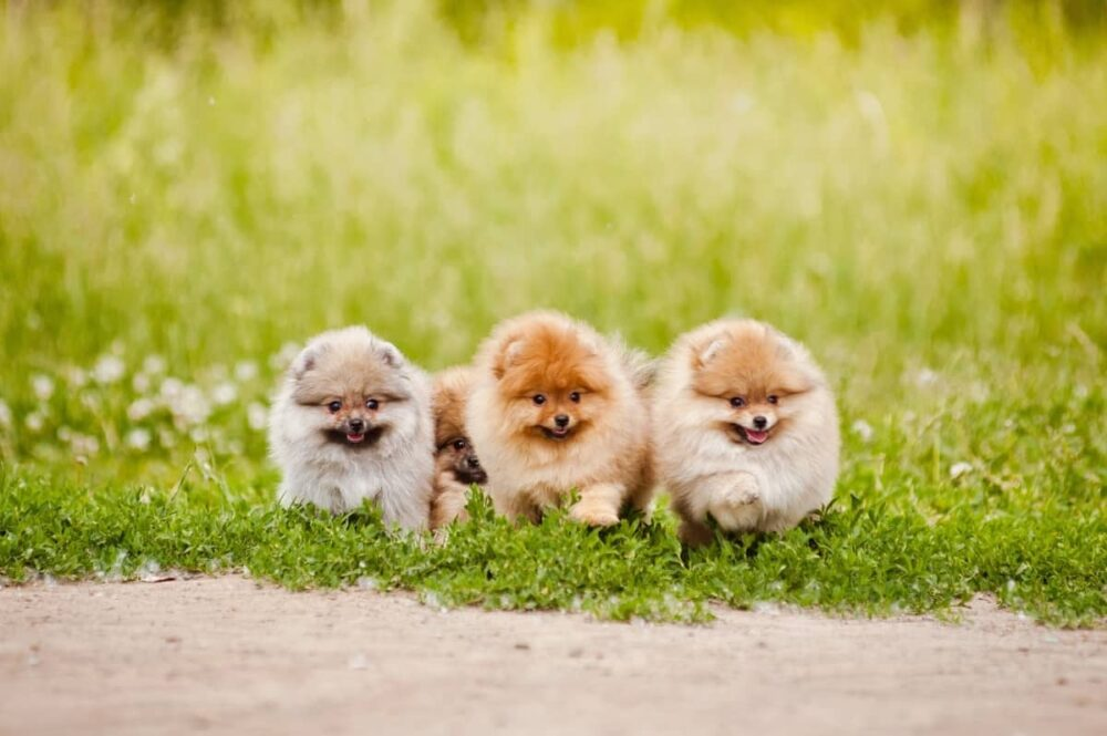 3 teacup pomeranians in grass