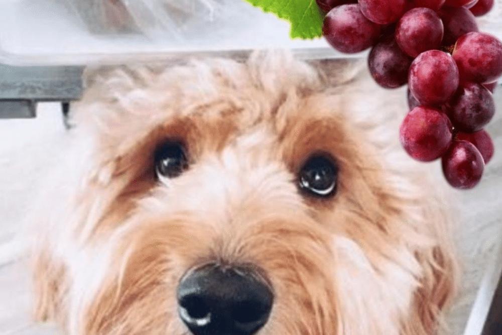 Dog Eating Grapes