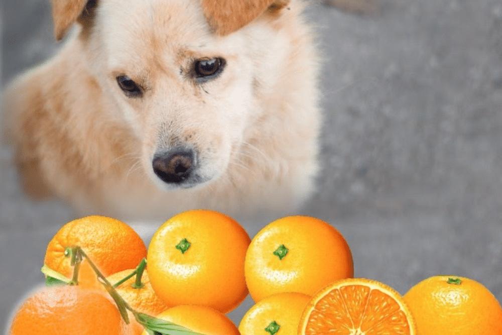 Dog Eating Orange