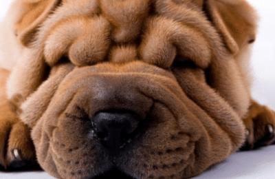 Dog With Smoosh Face
