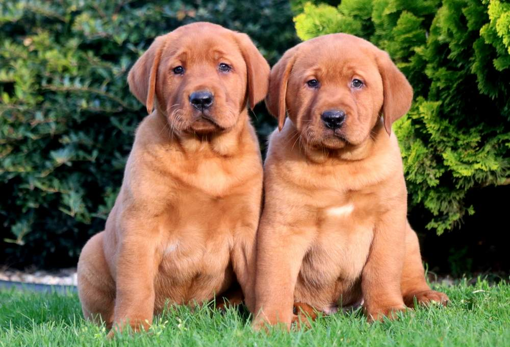 Red Fox Labrador Puppies on a lawn
