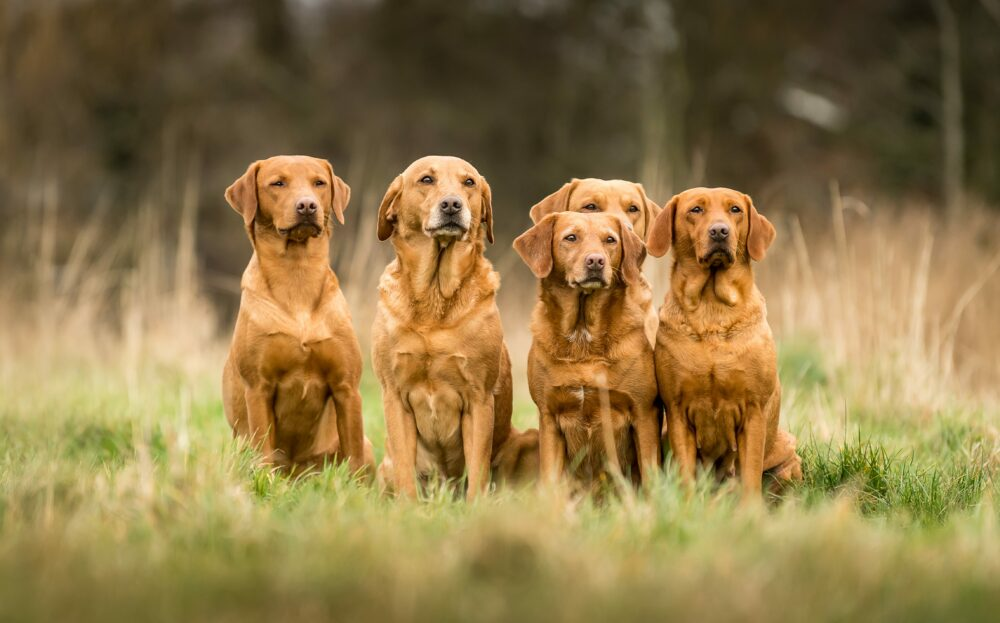 5 Red Fox Labradors in a field