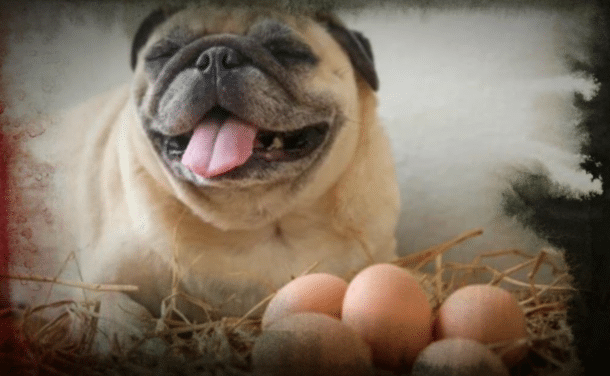 pug sitting next to eggs