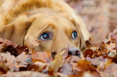 Fox red labrador retriever in autumn