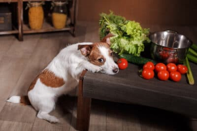 Dog breed Jack Russell Terrier and foods are on the table in the kitchen
