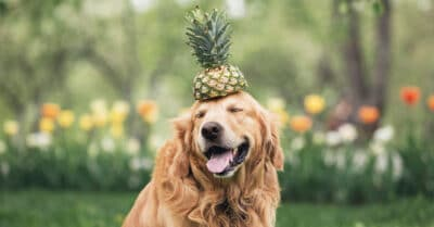 dog eating pineapple